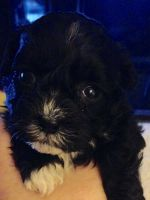 Shih-Poo Puppies for sale in Troy, OH 45373, USA. price: NA