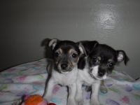 Shih-Poo Puppies for sale in Conroe, TX, USA. price: NA