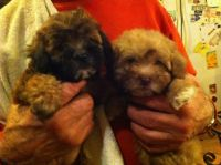 Shih-Poo Puppies for sale in Merrillville, IN, USA. price: NA