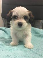 Shih-Poo Puppies for sale in Ann Arbor, MI, USA. price: NA