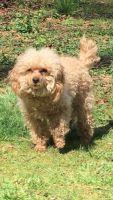 Shih-Poo Puppies for sale in Richmond, VA, USA. price: NA