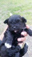 Shih-Poo Puppies for sale in Montgomery, AL, USA. price: NA