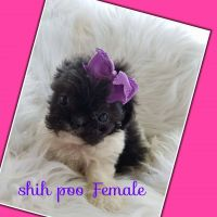 Shih-Poo Puppies for sale in London, KY, USA. price: NA
