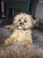Shih-Poo Puppies for sale in OR-99W, McMinnville, OR 97128, USA. price: NA
