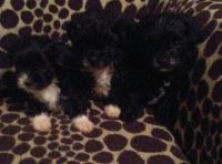 Shih-Poo Puppies for sale in Springfield, MO, USA. price: NA