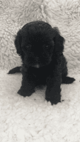 Shih-Poo Puppies for sale in Tempe, AZ, USA. price: NA