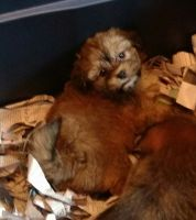 Shih-Poo Puppies for sale in Lake Village, IN 46349, USA. price: NA