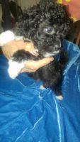 Shih-Poo Puppies for sale in Boonville, MO 65233, USA. price: NA