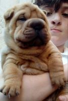 Shih-Poo Puppies for sale in 200 N Spring St, Los Angeles, CA 90012, USA. price: NA