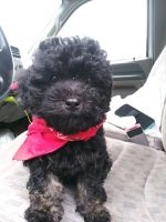 Shih-Poo Puppies for sale in Spotsylvania Courthouse, VA, USA. price: NA