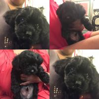 Shih-Poo Puppies for sale in Long Island, New York, USA. price: NA