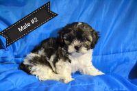 Shih-Poo Puppies for sale in Lake City, FL, FL, USA. price: NA