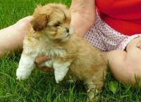 Shih-Poo Puppies for sale in New York County, New York, NY, USA. price: NA