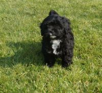 Shih-Poo Puppies for sale in Charleston, SC, USA. price: NA