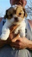 Shih-Poo Puppies for sale in Klockner Rd, Hamilton Township, NJ, USA. price: NA