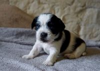 Shih-Poo Puppies for sale in Lewiston, ME, USA. price: NA