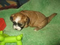 Shih-Poo Puppies for sale in Rocky Ford, CO 81067, USA. price: NA