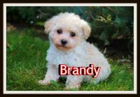 Shih-Poo Puppies for sale in Sherrodsville, OH 44675, USA. price: NA