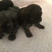 Shih-Poo Puppies for sale in New York, NY, USA. price: NA