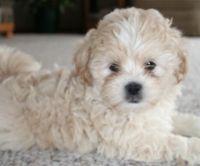 Shih-Poo Puppies for sale in Fairfax, VA, USA. price: NA