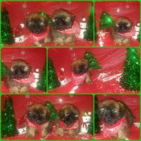 Shih-Poo Puppies for sale in Oak Park, IL, USA. price: NA
