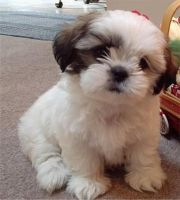 Shih-Poo Puppies for sale in Houston, TX, USA. price: NA