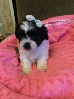 Shih-Poo Puppies for sale in Austin, TX, USA. price: NA