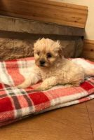 Shih-Poo Puppies for sale in Ocala, FL 34470, USA. price: NA