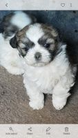 Shih-Poo Puppies for sale in Whittier, CA, USA. price: NA