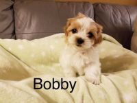 Shih-Poo Puppies for sale in Los Angeles, CA 90006, USA. price: NA