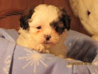 Shih-Poo Puppies for sale in Wooster, OH 44691, USA. price: NA