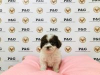 Shih-Poo Puppies for sale in Temple City, CA, USA. price: NA