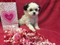 Shih-Poo Puppies for sale in Salado, TX 76571, USA. price: NA