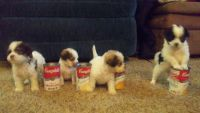 Shih-Poo Puppies for sale in West Bend, WI, USA. price: NA