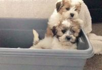 Shih-Poo Puppies for sale in San Diego, CA 92027, USA. price: NA
