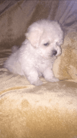 Shih-Poo Puppies for sale in Indianapolis, IN 46221, USA. price: NA