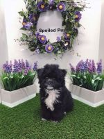 Shih-Poo Puppies for sale in Las Vegas, NV 89178, USA. price: NA