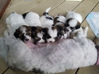 Shih-Poo Puppies for sale in Indian Trail, NC, USA. price: NA