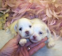Shih-Poo Puppies for sale in Jackson, MS, USA. price: NA