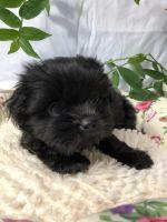 Shih-Poo Puppies for sale in Broxton, GA 31519, USA. price: NA