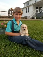 Shih-Poo Puppies for sale in Millersburg, OH 44654, USA. price: NA