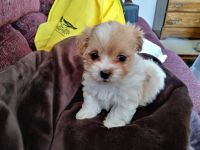 Shih-Poo Puppies for sale in Chuckey, TN 37641, USA. price: NA