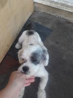 Shih-Poo Puppies for sale in Downey, CA, USA. price: NA