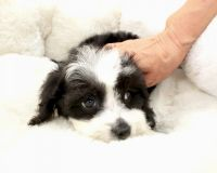 Shih-Poo Puppies for sale in Orange County, CA, USA. price: NA