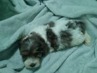 Shih-Poo Puppies for sale in Matthews, NC, USA. price: NA