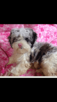 Shih-Poo Puppies for sale in Pomeroy, OH, USA. price: NA
