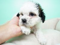 Shih-Poo Puppies for sale in Las Vegas, NV 89113, USA. price: NA