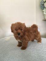 Shih-Poo Puppies for sale in Atlanta, TX, USA. price: NA