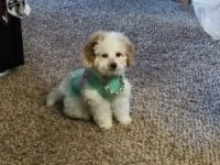 Shih-Poo Puppies for sale in Federal Way, WA, USA. price: NA
