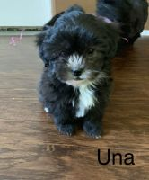 Shih-Poo Puppies for sale in Paw Paw, MI 49079, USA. price: NA